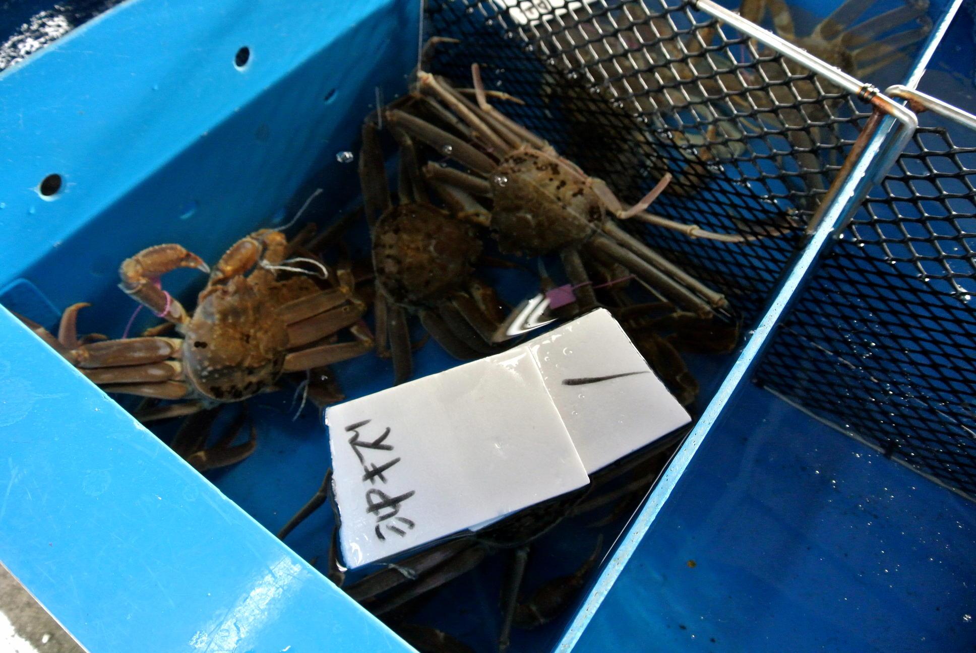 柴山港で水揚げされたカニが元気な理由
