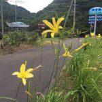 香美町の町花は今が見頃の「ユウスゲ」、実はもう一つあって「サクラ」