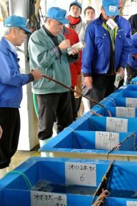 柴山港名物生け簀での松葉ガニの競り130321