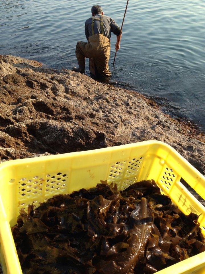 ワカメ漁~佐津ビーチにて、ある日の光景