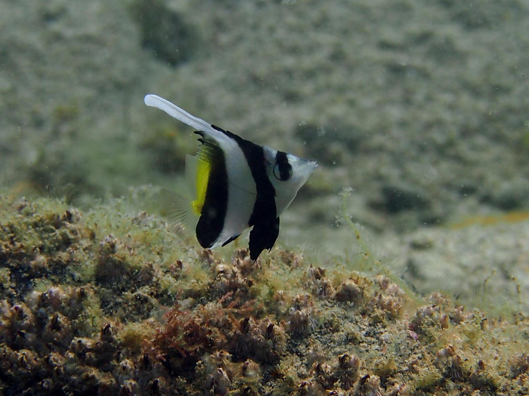「死滅回遊魚」という言葉があります~日本海、佐津ビーチでもトロピカルなお魚が見られる?