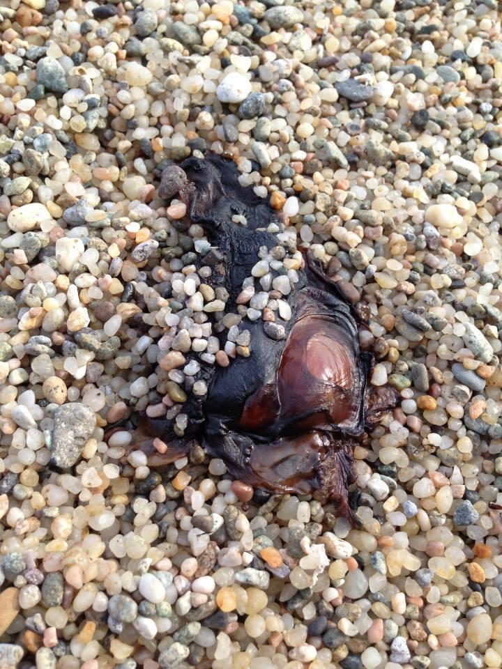 佐津ビーチを歩いていて、偶然発見した生き物観察