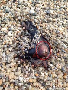 アメフラシの貝殻が見える!