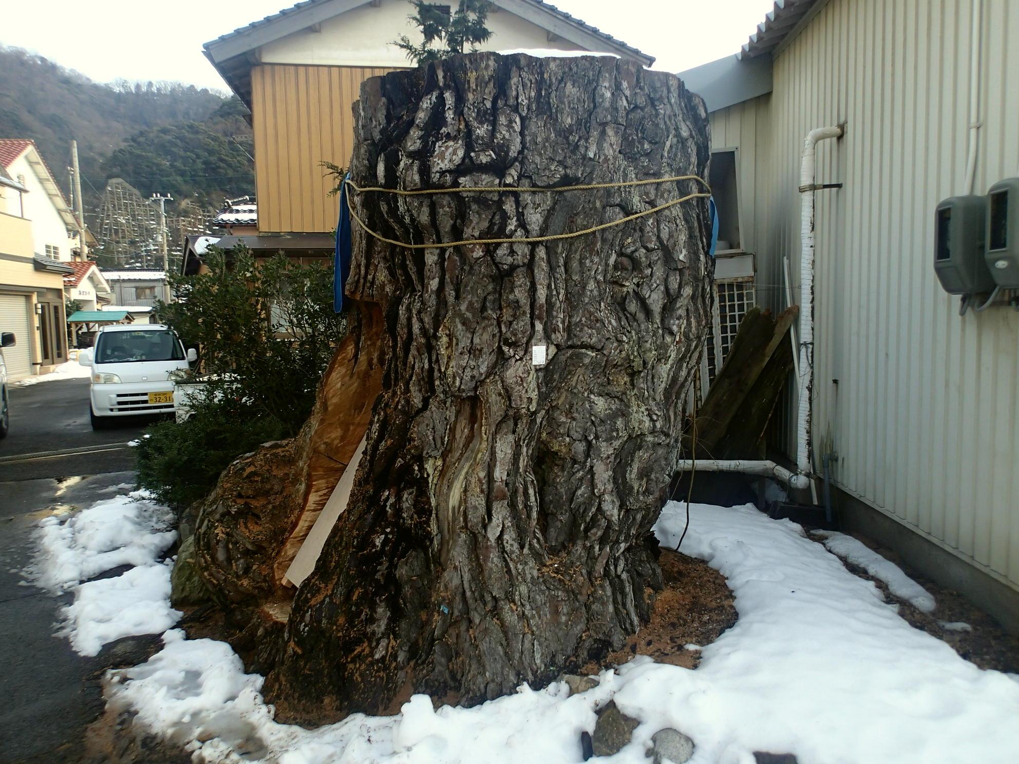 佐津海水浴場近くにあった樹齢400年のクロマツは今・・・