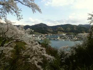岡見公園の桜