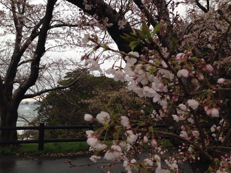 香住、城崎温泉、出石城など但馬地方の桜は京阪神より1週間ほど遅いです