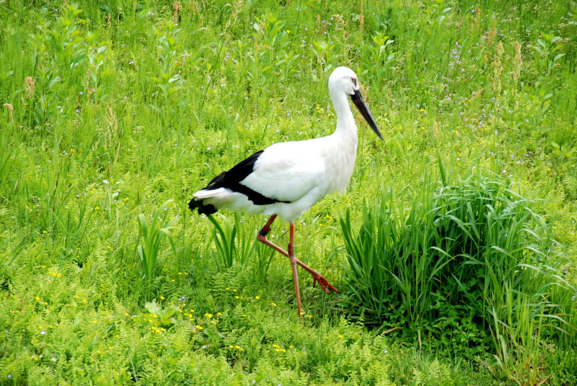 コウノトリのヒナが見られるのは5月末まで~コウノトリの郷公園