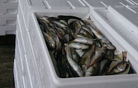 底引き網漁再開!9月2日に競りがありましたが、懸念していたハタハタも水揚げされています!