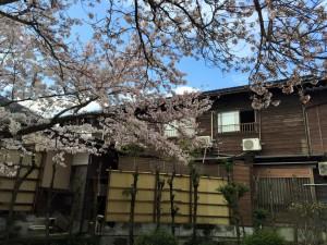 佐津小学校かどや裏の桜