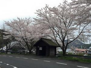 訓谷バス停の桜