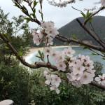 海と桜の組み合わせって珍しくないですか?佐津に絶景スポットあります♪