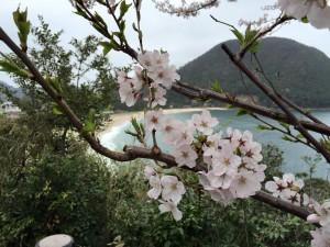 佐津浜と桜