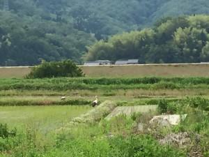 田んぼにコウノトリ