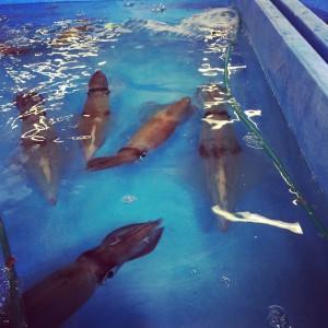 泳ぐ活イカ