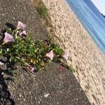 ハマヒルガオが見ごろ、佐津浜で見つけたど根性浜ひるがお!
