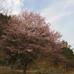 香住佐津地区の桜、現在三分咲きから五分咲きです!!