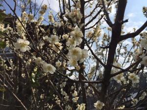 かどやに咲いた梅