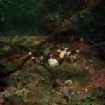 春の佐津ビーチの海中もちょっぴりご案内♪~ダンゴウオとタツノオトシゴ