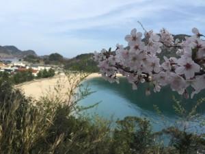 佐津ビーチを背景にした桜