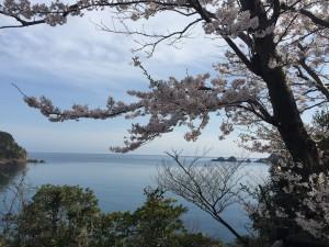 貝殻島を背景にした桜