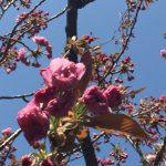 桜は散りだしましたが、佐津・魚見台の八重桜は間もなくです!