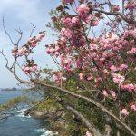 魚見台の八重桜がピーク!香住・ジオパークフルマラソンのコース途中にあります!
