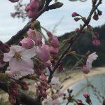 今年の香住、佐津地域での桜の開花は3月下旬から4月上旬!!
