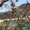 快晴が続き、桜の開花も間近!!☆海が背景の桜は香住の佐津「魚見台」で。