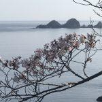 香住・佐津海岸魚見台の桜、満開になりました!!\(^o^)/