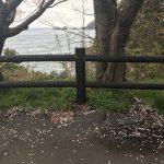 桜が散り始めの今、少し山の方に行くと今が桜もピーク?!〜土生トンネル付近♪