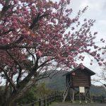 香住の佐津・魚見台の桜はまもなく八重桜が見頃です!!