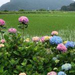 奥佐津の米地に行く道中農道にて紫陽花(あじさい)が見頃です♪