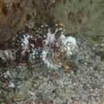 佐津海水浴場には浅場でもオコゼがいるのに、事故が起こったことがないのは何故?