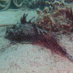 かどや名物「オコゼ」は佐津海水浴場の海中でも名物になりそうなほどたくさんいました!