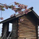 香住・ジオパークフルマラソンまで咲いているかな?佐津の魚見台「八重桜」が見頃です♪