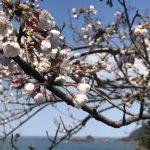 「海と桜」佐津魚見台の桜、開花しました!満開は今週末!?