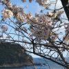 【速報】海と桜☆香住・佐津「魚見台」の桜、満開です!!