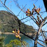 3月26日現在、魚見台の桜(ソメイヨシノ)は蕾状態です!