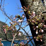 香住・佐津海岸にある魚見台の桜(ソメイヨシノ)満開は間も無く!