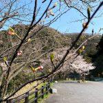 今週末より佐津海岸魚見台の桜(ソメイヨシノ)が見頃です!