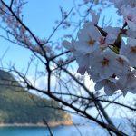 魚見台の桜と訓谷バス停(トトロのバス停)の桜