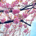 今年は例年よりもやや早め!?4月下旬になる前に佐津海岸魚見台の八重桜が満開となりました