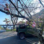 佐津海岸魚見台の桜の開花はまもなく!?令和3年は3月中に開花しそうです!!