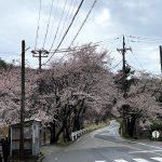 佐津駅西の踏切を渡らず柴山方面へ真っ直ぐいく道は今、桜のトンネルになっています♪