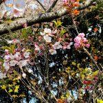 魚見台の桜の見頃はソメイヨシノから八重桜へ。今はどちらもみられるタイミングです!