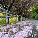 ファミリーイン今子浦の近くに八重桜の絨毯ロード発見!!