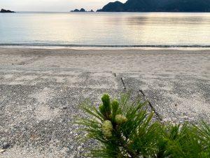 佐津海水浴場のど根性松