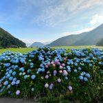 6月、今年も奥佐津の香住区米地へ向かう農道の紫陽花が見頃です♪