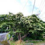 佐津集落でもみられます!意外と知られていない!?6月頃に咲く栗の花ってどんなの?