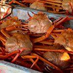昨日9月5日、香住がに(紅ズワイガニ)の初競りが香住漁港で行われました!!